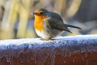 A robin red breast perched on an ice covered wall